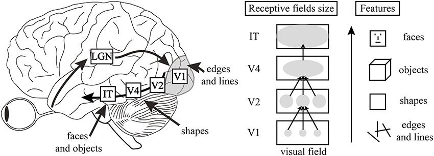 Deep Convolutional Neural Networks as Models of the Visual